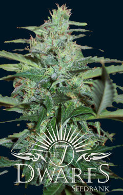 Colossus Auto-flowering Feminised Seeds