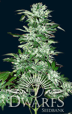 Cyclops Auto-flowering Feminised Seeds