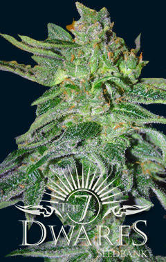 Gigantes Auto-flowering Feminised Seeds