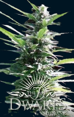 Hercules Auto-Flowering Feminised Seeds