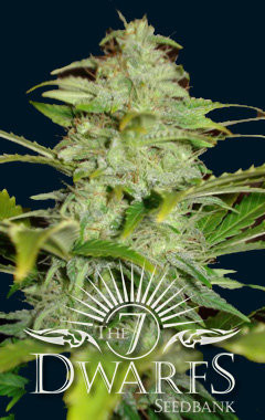 Titan Auto-flowering Feminised Seeds