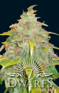 Trojan Auto-flowering Feminised Seeds