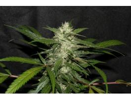 Sweet Chunk BX1 Regular Seeds