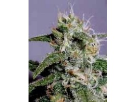 Cindy 99 Feminised Seeds