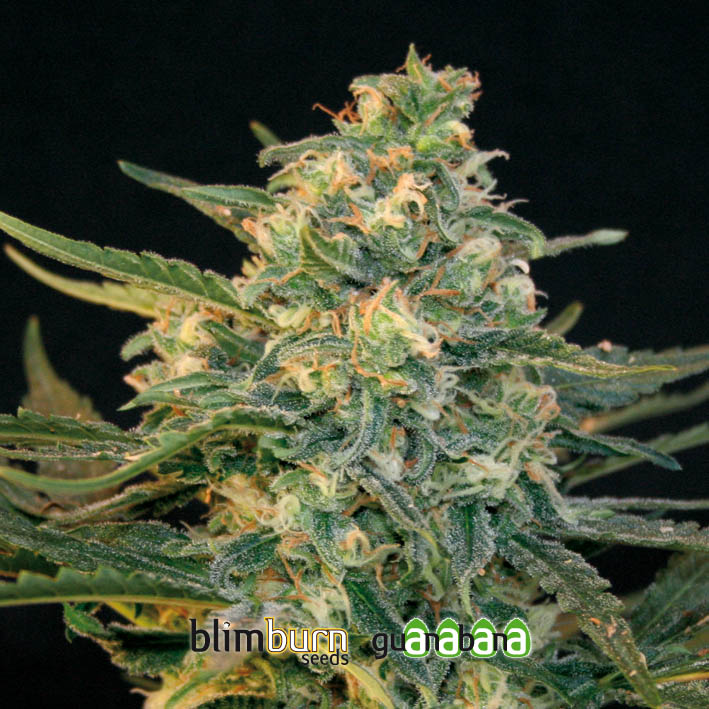 Guanabana Feminised Seeds