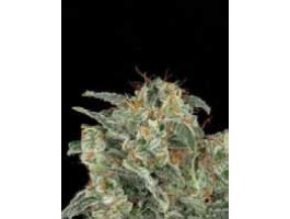 Northern Light Automatic Feminised Seeds