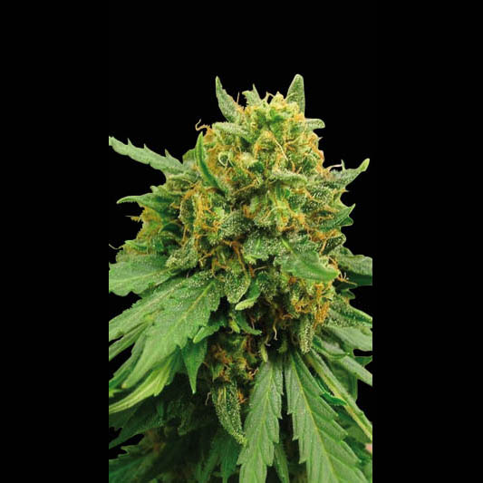 Superautomatic Feminised Seeds