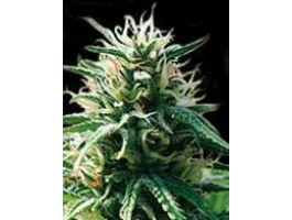 Sweety Automatic Feminised Seeds