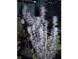 Blueberry - 10 Regular Seeds
