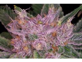 Grape Krush - 10 Regular Seeds