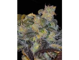 Whitaker Blues - 10 Regular Seeds