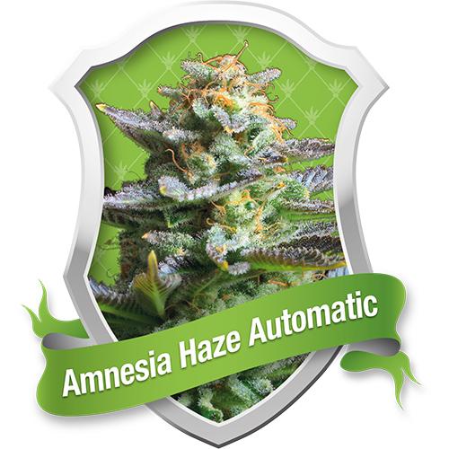 Amnesia Haze Automatic Feminised Seeds