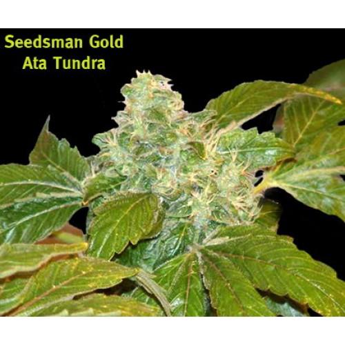 Ata Tundra Regular Seeds