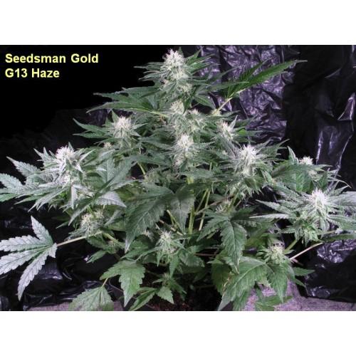 G13 Haze Regular Seeds