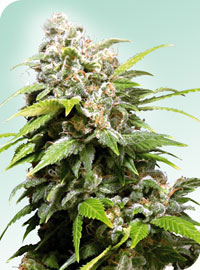 Californian Indica Regular Seeds