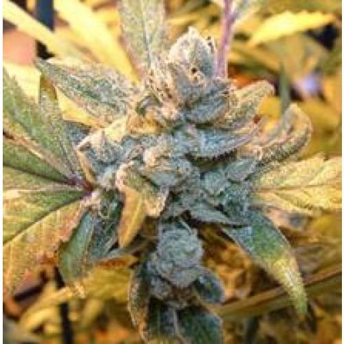 Blue Cheese Feminised Seeds