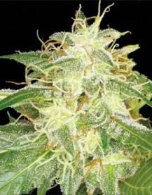 Silver Bubble Feminised Seeds