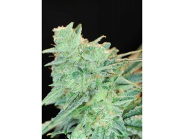 Rawdawg Regular Seeds
