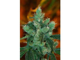 Queso Fuertes Regular Seeds