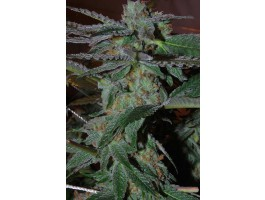 Snozzberry Feminised Seeds