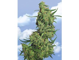 Nepal Kush Feminised Seeds