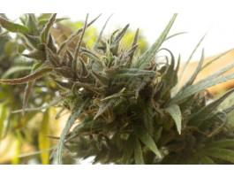 Colombian Black Regular Seeds - Bastard Series
