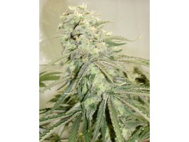 Elephant Stomper Regular Seeds