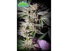 Durango OG Regular Seeds