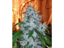 AG13 Haze X Biker LTD Regular Seeds