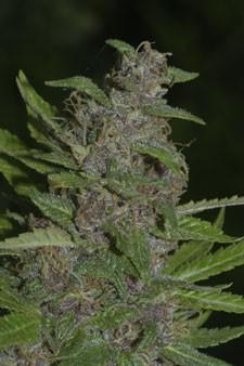 Early Purple Kush Regular Seeds