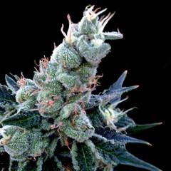 Double Alien 18 Feminized Cannabis Seeds