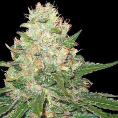Rocklock Feminised Cannabis Seeds