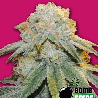 Bubble Bomb Feminised Seeds