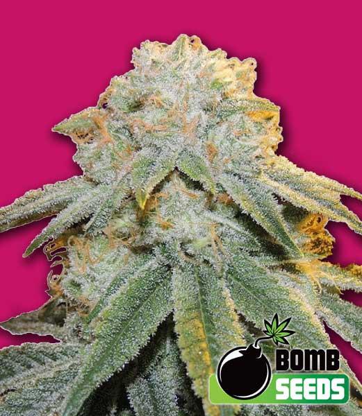 Bubble Bomb Feminised Seeds