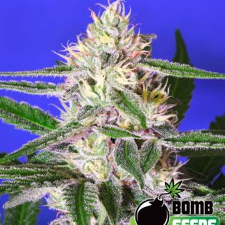 Cheese Bomb Feminised Seeds