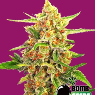 Cherry Bomb Feminised Seeds
