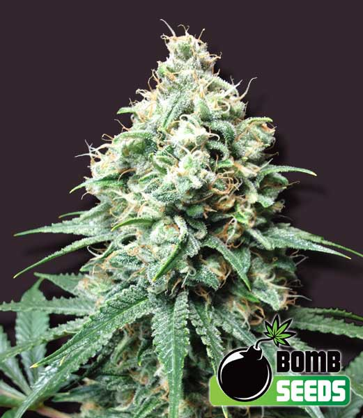 Kush Bomb Feminised Seeds