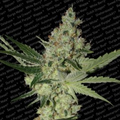 Acid Female Cannabis Seeds