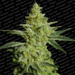 ALLKUSH Female Marijuana Seeds