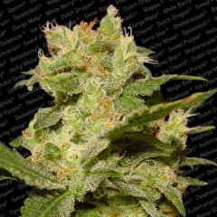 Auto Jack AutoFlowerer Female Cannabis Seeds