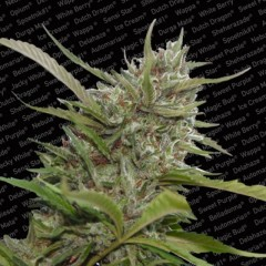 Auto Whiteberry AutoFlowering Female Cannabis Seeds