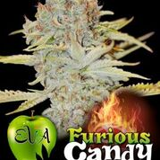 Furious Candy Feminised