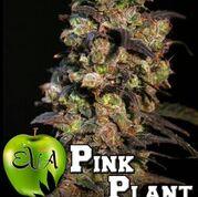 Pink Plant Feminised