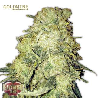 Goldmine Feminised seeds