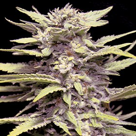 Blueberry Gum G13 Labs Seeds_600x600