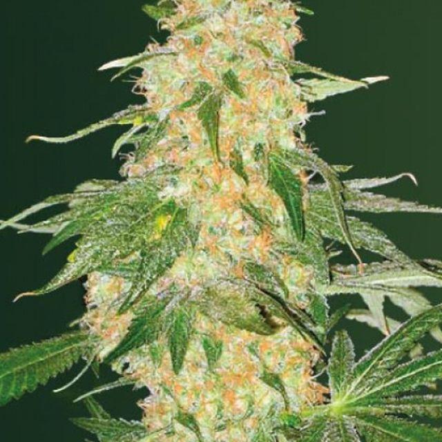 Skunk Fem Super семена от польза употребления марихуаны вред и