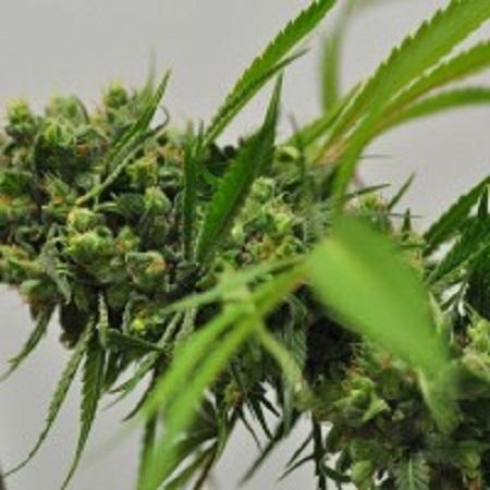 1dc373ab1414 Big Sur Holy Weed Regular Seeds – UK Seed Bank